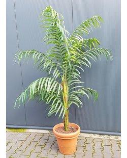 Verhuur: Diverse kunsplanten hoogte +- 210cm